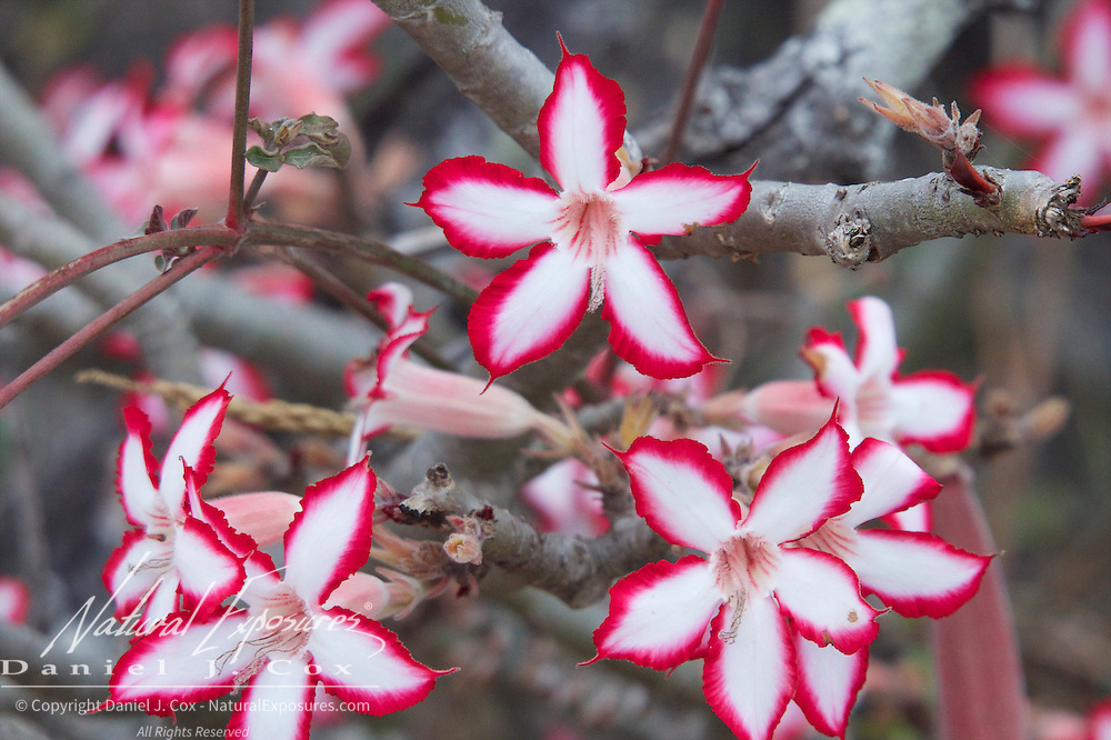 Bright red and white colors of the blooming Impala lily decorate the drab winter landscape of Londolozi Game Reserve, South Africa.