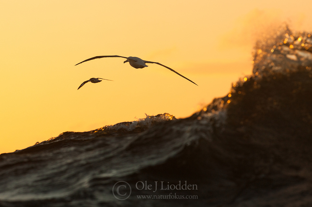 Southern Royal Albatross (Diomedea epomophora) and Cape petrel (Daption capense) at sunset in sub-Antarctic Ocean