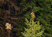A pair of red-tailed hawks during mating season in spring. Yaak Valley Montana
