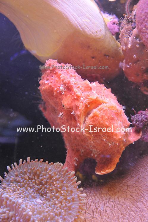 Eilat Israel underwater observatory Reef Stonefish (Synanceia verrucosa) c