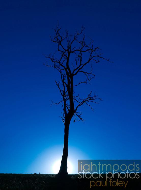 Dead Tree, Hunter Valley, Australia