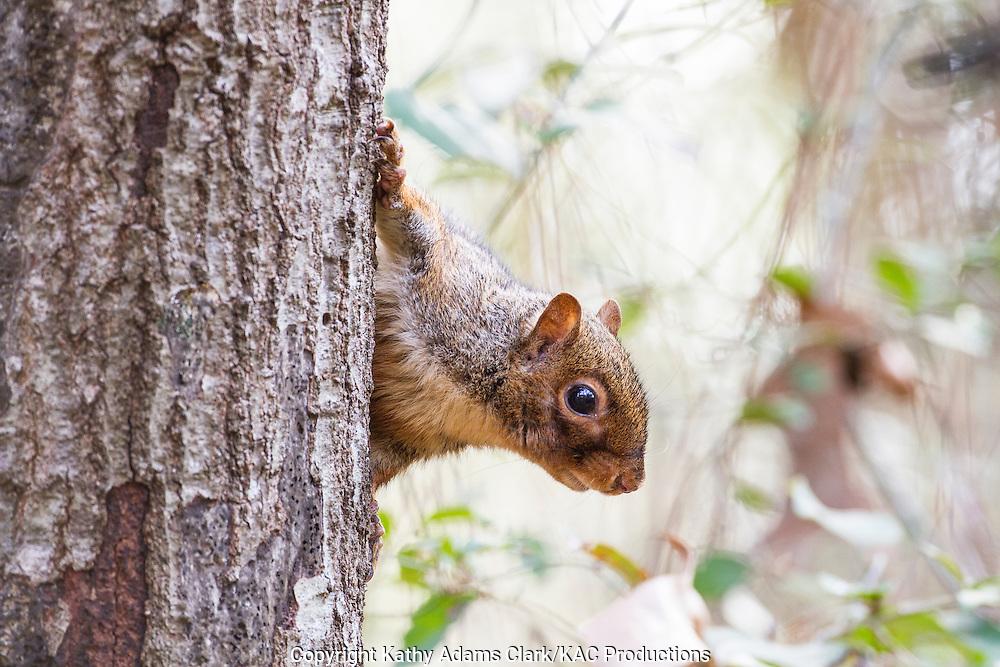 Gray squirrel, Sciurus carolinensis, peeking around tree, in The Woodlands, Texas, in winter.