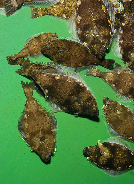 Juvenile Atlantic Halibut (Hippoglossus hippoglossus) in a fish farm.<br />