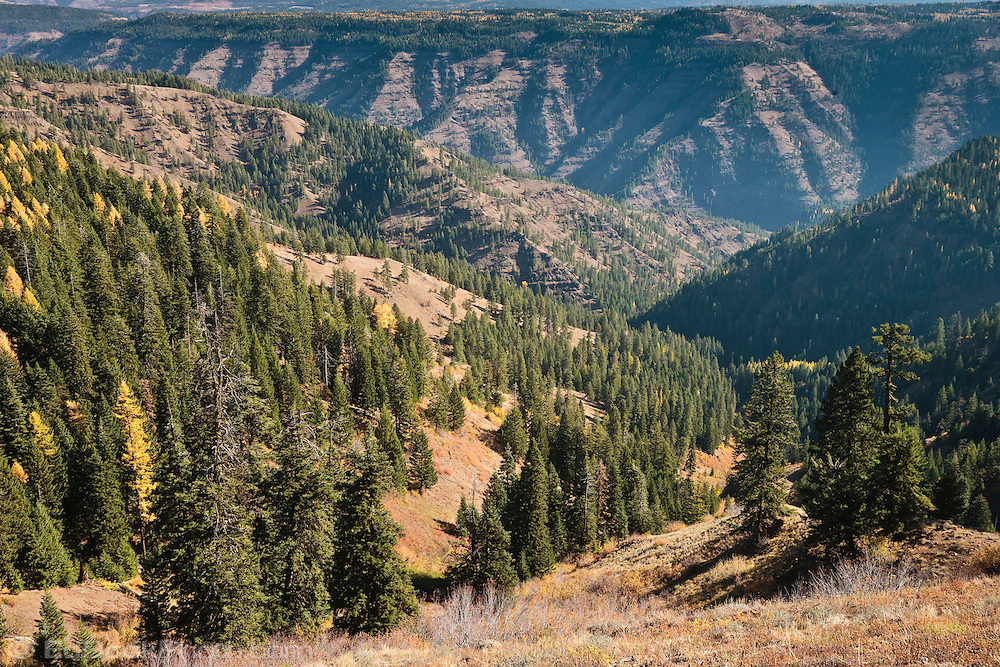 Autumn is causing the Tamarack tree needles turn yellow along the ridges near above the Grande Ronde River in the Umatilla National Forest in the Blue Mountains of northeastern Oregon, USA.
