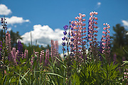 Maine landscape with stunning Purple and pink Lupines