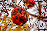 over ripe and rotting pomegranate on a tree
