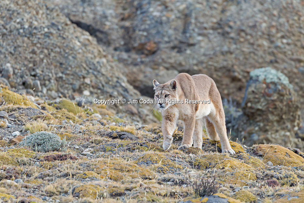 A female puma starts her hunt for the night in Torres del Paine National Park.