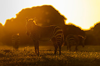 Cape Mountain Zebra herd silhouetted at dusk, De Hoop Nature Reserve, Western Cape, South Africa