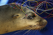 California Sea Lion in Rehabilitation <br /> Zalophus californianus<br /> Electrodes attached to a CA sea lion afflicted with domoic acid poisoning during an EEG test.The test will measure its brain wave  patterns (including seizures)to study the effects of domoic acid on the animal's brain.<br /> The Marine Mammal Center, Sausalito, CA