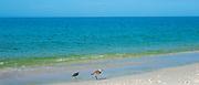 Sanderling, Calidris alba, one of the wading shorebirds, stepping in surf on the beach shoreline at Captiva Island, Florida USA
