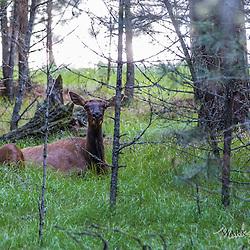 Spring Brook Yak Ranch - May 2016