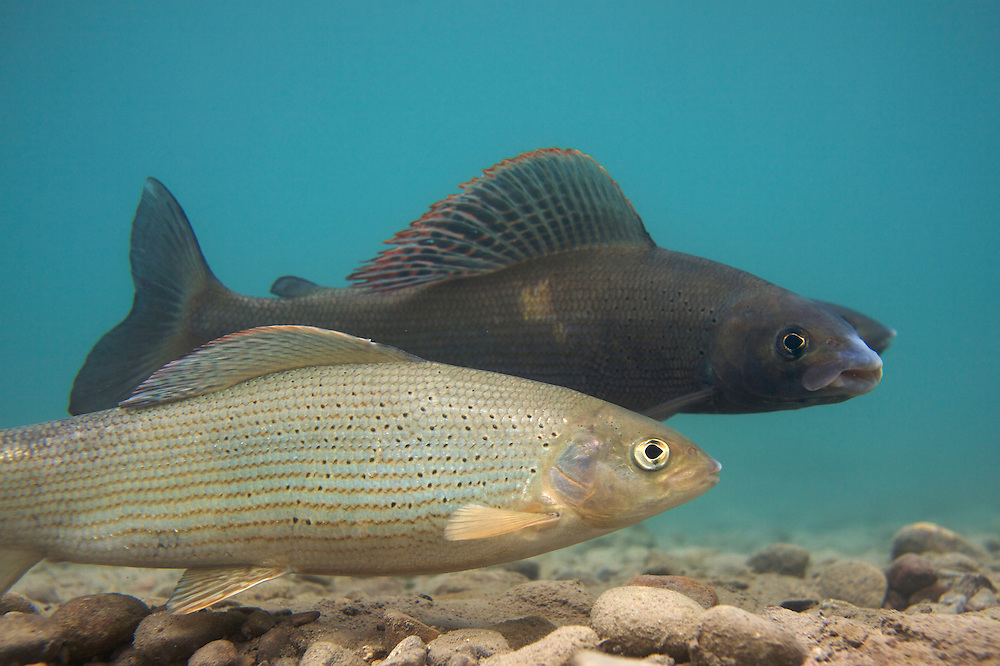 Grayling (Thymallus thymallus) <br /> Male (dark) and female spawning, Lake of Thoune, Thoune, Switzerland<br /> &Auml;sche (Thymallus thymallus)<br /> M&auml;nnchen (dunkel) und Weibchen laichend, Thunersee, Thun, Schweiz<br /> Ombre (Thymallus thymallus)<br /> M&acirc;le (fonc&eacute;) et femelle sur la fray&egrave;re, Lac de Thoune, Thoune, Suisse<br /> 23-03-2009