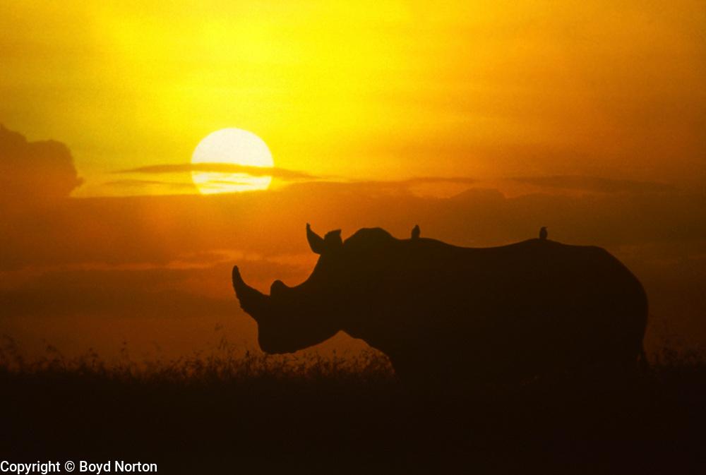 White rhino, Lewa Conservation Area, Kenya