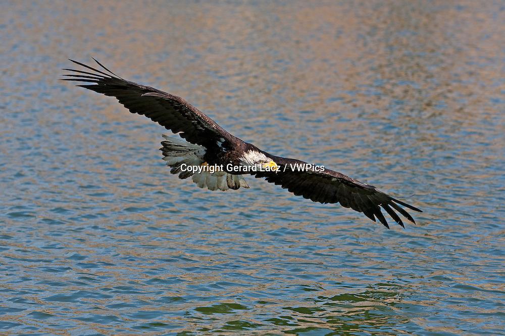 Bald Eagle, haliaeetus leucocephalus, Immature in Flight