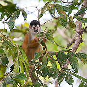 Squirrel monkey. The Piro Biological Station run by Osa Conservation in the Osa Peninsula, Costa Rica.