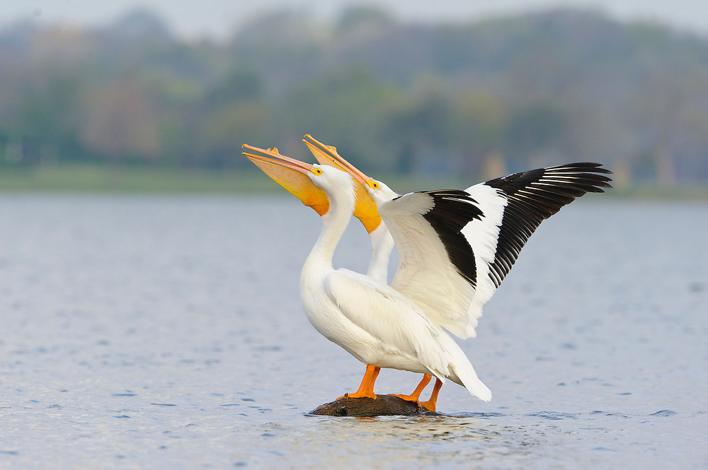 White Pelicans perched on a log at White Rock Lake, Dallas, Texas