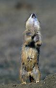 Black-tailed prarie dog barking on mound. Theodore Roosevelt National Park, North Dakota
