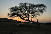 Israel Negev desert, silhouette of an Acacia tree at sunset