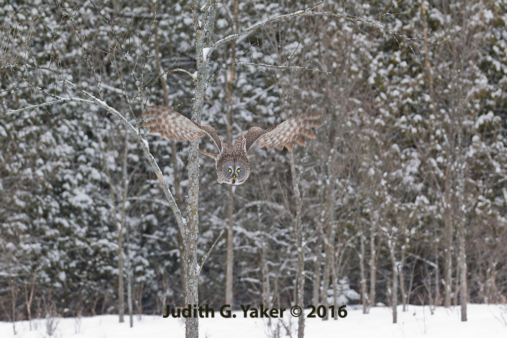 Great Grey Owls in Winter - Ontario Canada