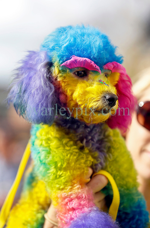 31 January 2016. New Orleans, Louisiana.<br /> Mardi Gras Dog Parade. The Mystic Krewe of Barkus winds its way around the French Quarter with dogs and their owners dressed up for this year's theme, 'From the Doghouse to the Whitehouse.' <br /> Photo&copy;; Charlie Varley/varleypix.com