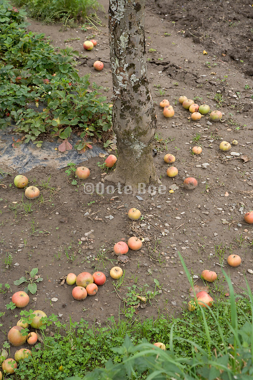 many apples laying on the ground at the foot of the tree