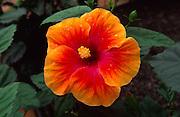 Hibiscus flower<br />