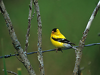American Goldfinch (Carduelis tristis) male, Millarville, Alberta, Canada - Photo: Peter Llewellyn