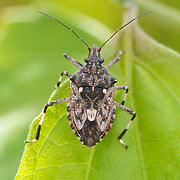 Tessaratomidae is a family of true bugs..Tessaratomids resemble, but are not, large stink bugs (family Pentatomidae) and are sometimes quite colorful.