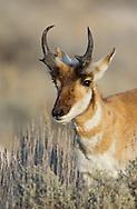 American Pronghorn, Antelope Island State Park, Utah, USA