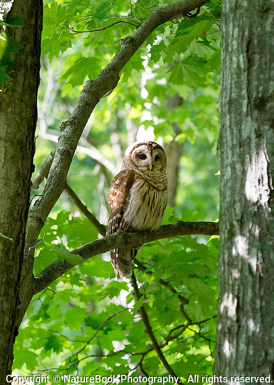 A barred owl usually hunts at night, but this one is getting an early start in the late afternoon, perched on a branch at Radnor Lake State Natural Area.