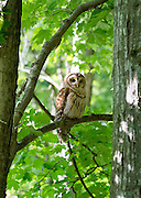 A barred owl usually hunts at night, but this one is getting an early start in the late afternoon, perched on a branch at Radnor Lake State Natural Area in Nashville, Tennessee.