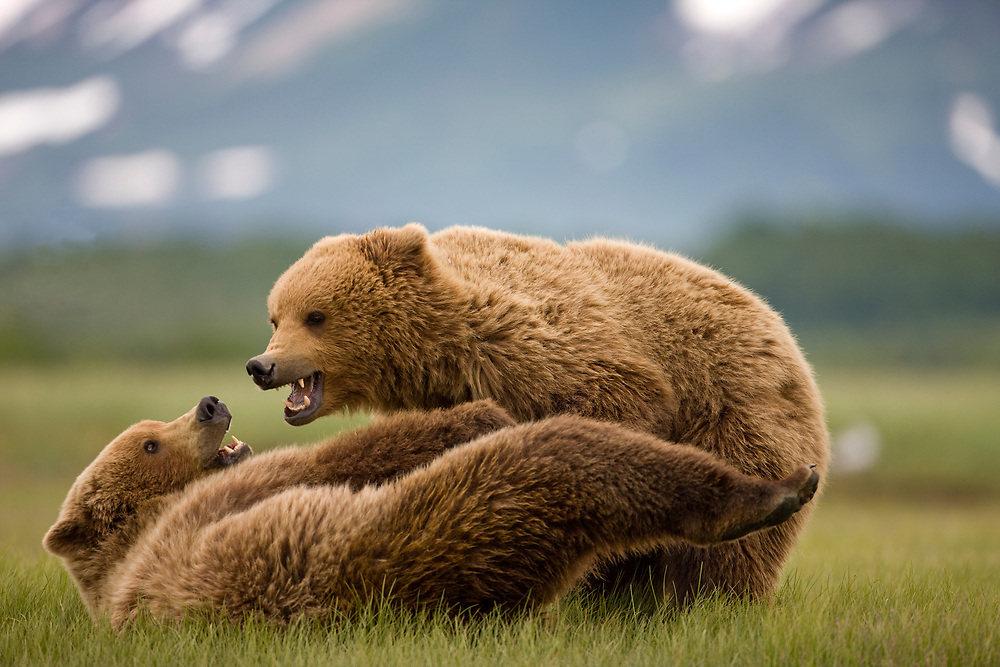 USA, Alaska, Katmai National Park, Brown Bears (Ursus arctos) wrestling in meadow along Hallo Bay