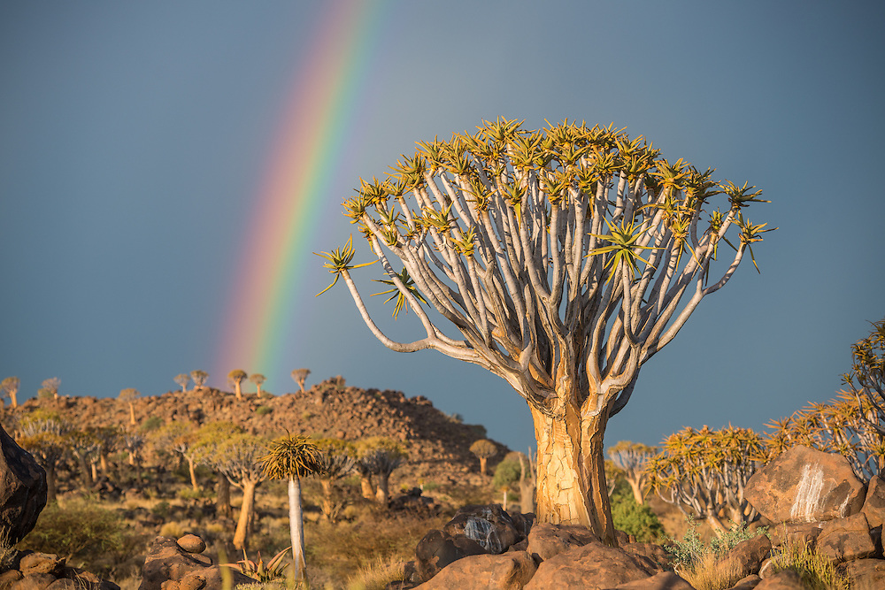 Keetmanshoop, Namibia - Quiver tree forest with rainbows overhead in the Playground of the Giants