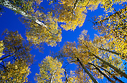 Fall aspen and blue sky in the San Juan Mountains, San Juan National Forest, Colorado USA