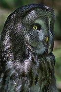 Portrait of a great gray owl (Strix nebulosa), Tierpark Goldau, Schwyz, Switzerland