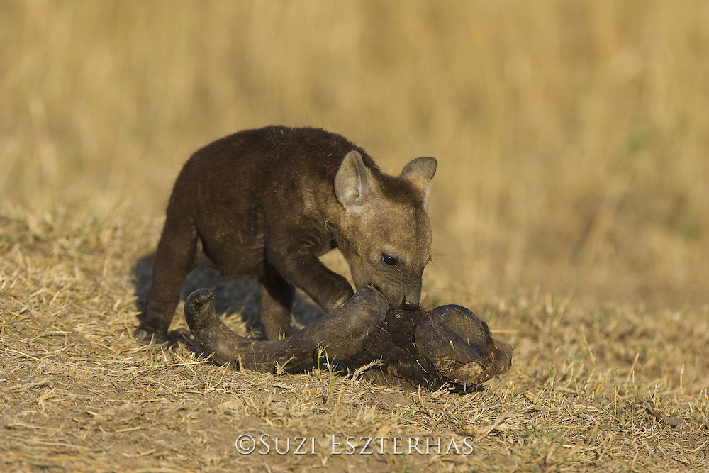 Spotted Hyena<br /> Crocuta crocuta<br /> 8 week old cub chewing on wildebeest skull<br /> Masai Mara Conservancy, Kenya