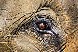 The eye of an Asian forest elephant (Elephas maximus sumatranus) in  Leuser National Park, Sumatra, Indonesia