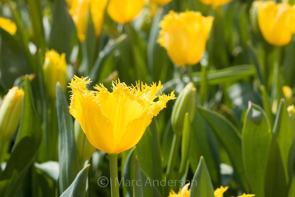 Yellow tulips, Corbett Gardens, Bowral, Australia