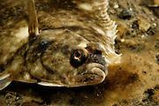 European Flounder (Platichthys flesus). Gullmarsfjorden, Kattegat, Baltic Sea, Sweden. | Flunder (Platichthys flesus). Gullmarsfjord, Kattegat, Ostsee, Schweden.