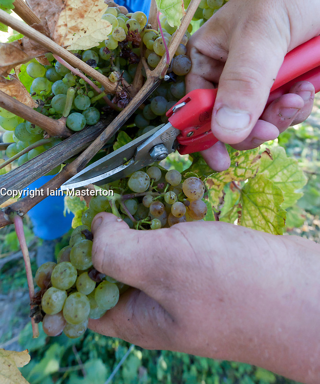Harvesting Riesling grapes in  at Bernkastel-Kues in Mosel Valley in Germany