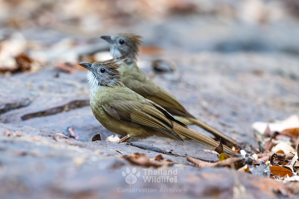 The puff-throated bulbul (Alophoixus pallidus) is a species of songbird in the bulbul family, Pycnonotidae. It is found in Southeast Asia. Its natural habitat is subtropical or tropical moist lowland forests.