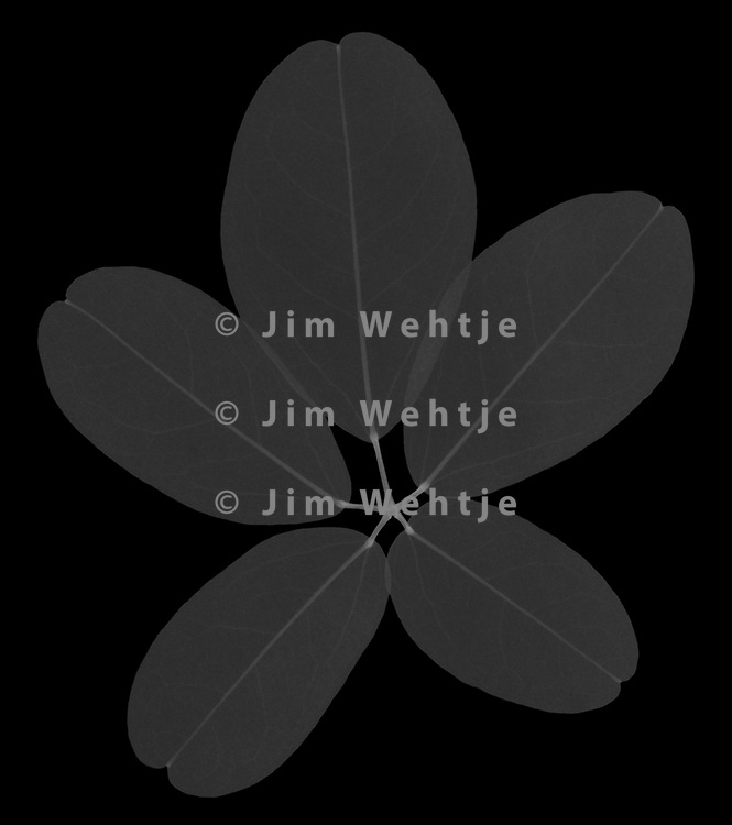 X-ray image of a chocolate vine leaf (Akebia quinata, white on black) by Jim Wehtje, specialist in x-ray art and design images.