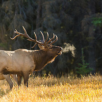 steam coming from mouth of bull elk bugling