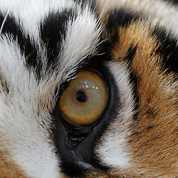 November 25, 2011; Baton Rouge, LA, USA; a detailed view of the eye of LSU Tigers mascot Mike VI prior to kickoff of a game against the Arkansas Razorbacks at Tiger Stadium.  Mandatory Credit: Derick E. Hingle-US PRESSWIRE