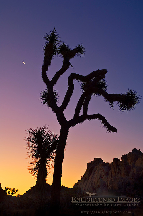 Crescent moon at sunrise over Joshua Tree and boulder rock outcrop, near Quail Springs, Joshua Tree National Park, California