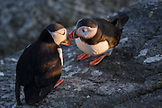 Lundefugler som kysser i Lundeura, Runde | Kissing Puffins at Lundeura, Runde, Norway.