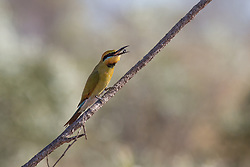 A Rainbow bee-eater catches a native bee near Mandora Marsh south of Broome.