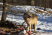 A gray wolf feeds on a deer in wooded winter habitat Captive pack.