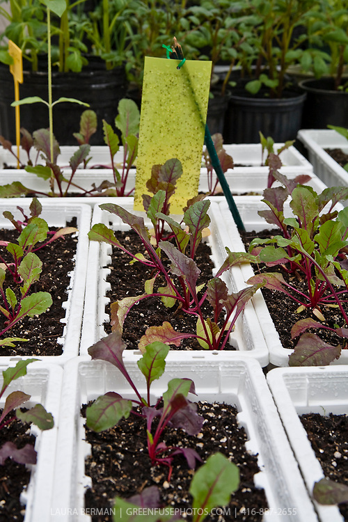 Vegetables growing in containers in a greenhouse
