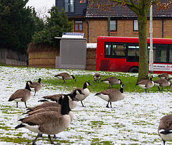 Geese feed on the village green opposite a toilet that rests on a sloping pavement at the turn-around point of bus routes at the corner of Manor and Chapelmount roads in Chigwell, Essex. The Grey metal loo with a solar panel and combination lock has divided opinion among local residents, some of who object to its presence whilst others believe it is essential for the bus drivers. Chigwell, Essex, January 24 2019.
